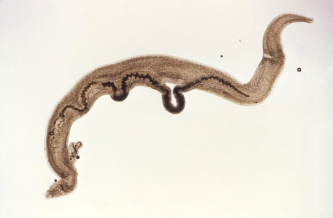 platelmintos animales invertebrados