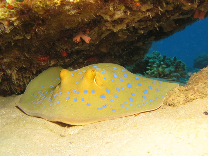 manta raya animales vertebrados ejemplos