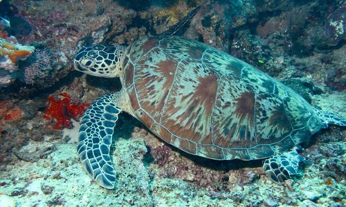 Chelonia mydas testudinea tortuga vertebrados