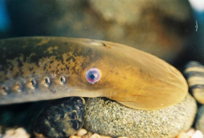 lamprea Petromyzon marinus animales vertebrados
