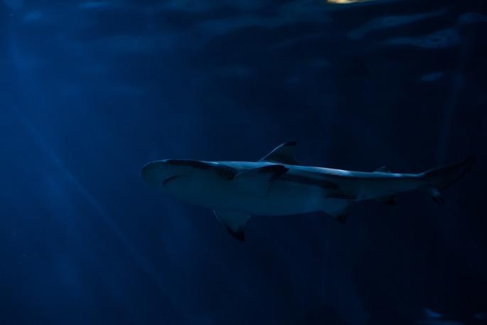 el tiburon es un predado del bioma de oceano