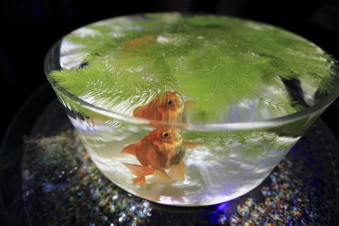 imagen doble de un pez en un acuario