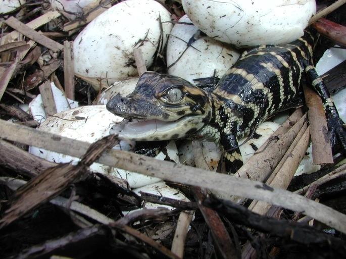 cocodrilo huevo animales vertebrados ejemplos