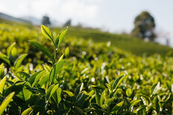 Cultivo de Camellia sinensis