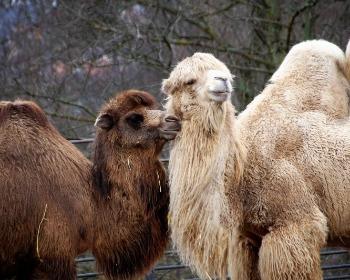 Camello y dromedario