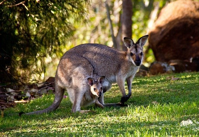 canguros, animales vivíparos
