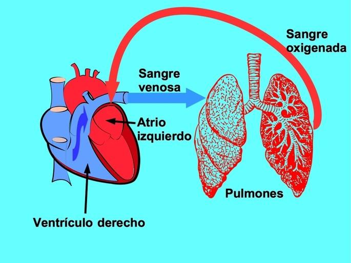 Circulación menor pulmonar