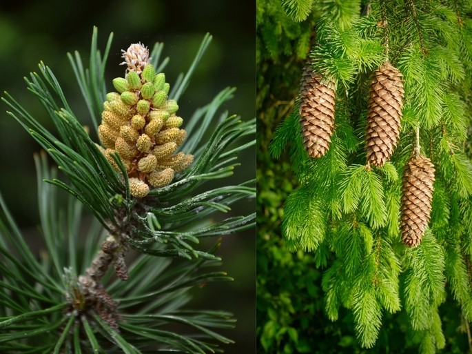 organo masculino y femenino de un pino