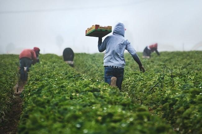 consecuencias de la migración, personas trabajando en el campo