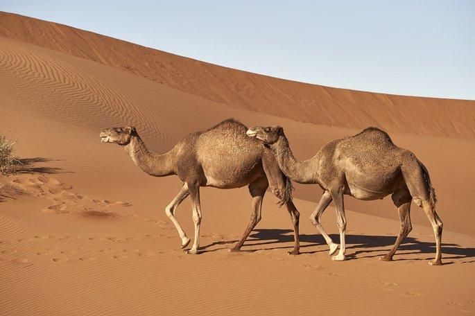 dromedario Camelus dromedarius una joroba