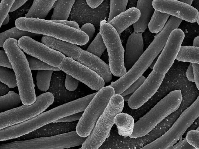 Eschericia coli bacteria procariote