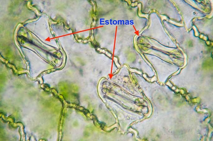 imagen de estoma en la planta