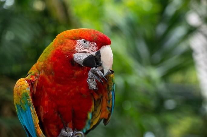 fauna, guacamaya roja