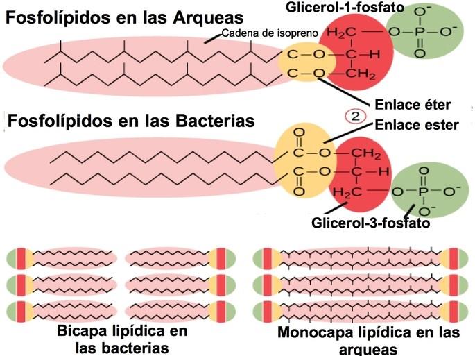 Diferencias Entre Arqueas Y Bacterias Diferenciador