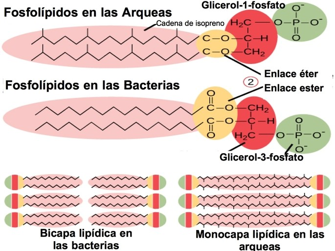 fosfolipidos arqua y bacteria