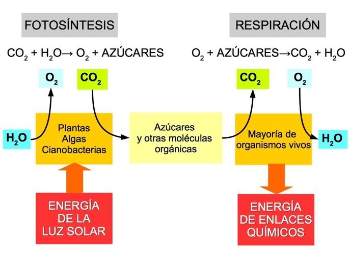 relación entre fotosintesis y respiracion