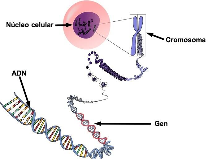 Diferencia entre genes y cromosomas - Diferenciador