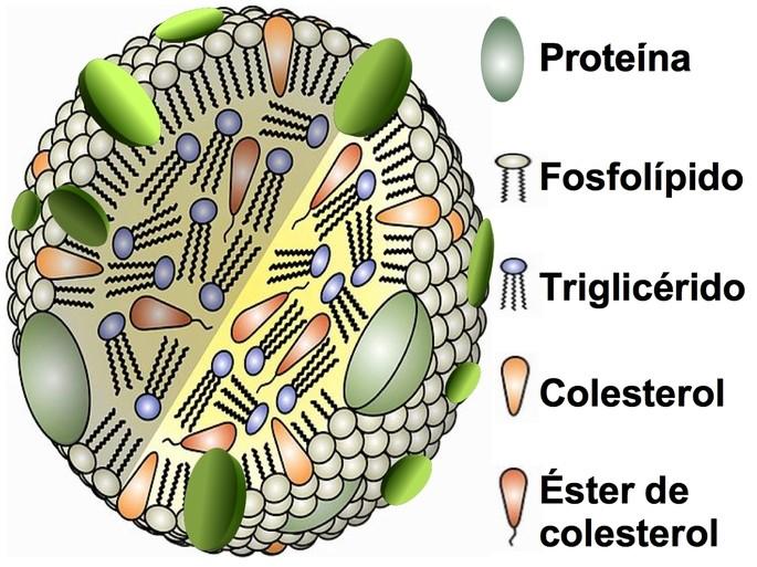 HDL estructura