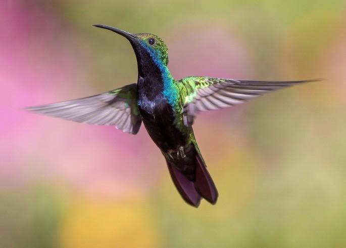 colibri aves animales vertebrados