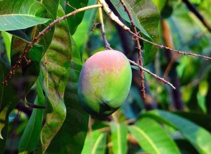 mango dicotiledonea angiosperma