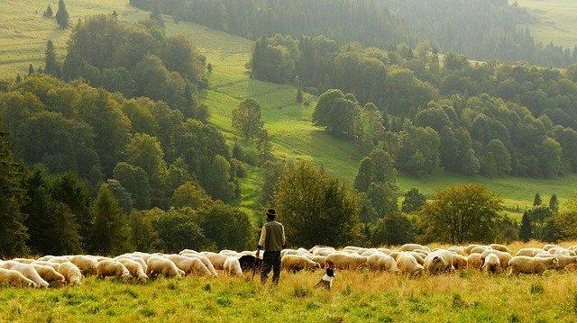 hombre pastoreando ovejas en las montañas