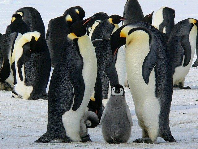 pingüinos, animales ovíparos