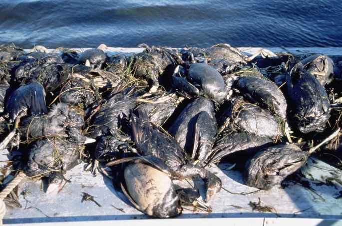 aves muertas producto de contaminacion por petroleo