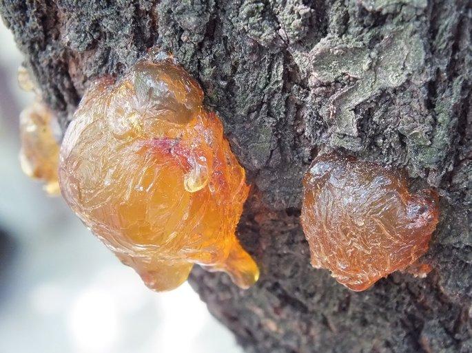 la resina de los arboles que se transforma en ambar