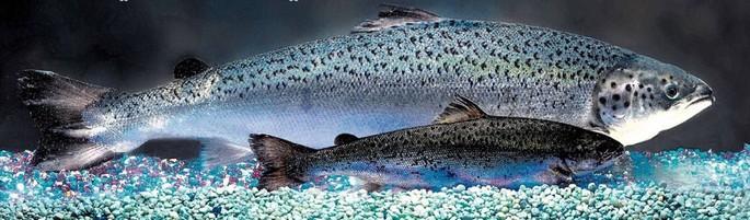 salmon transgenico comparado con salmon nativo
