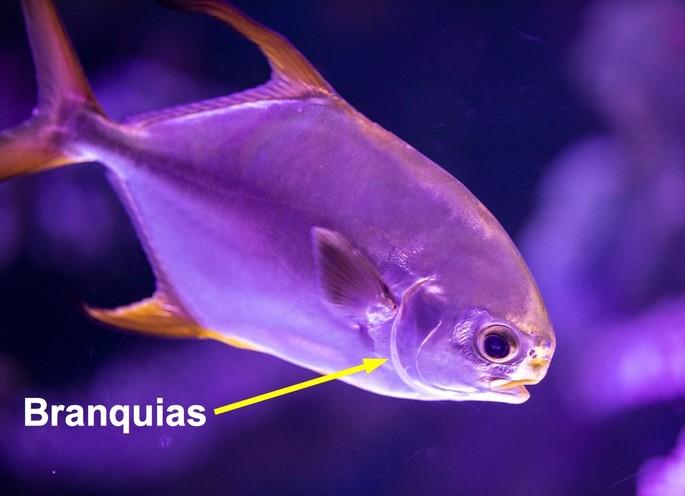 respiracion branquial en los peces