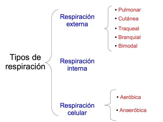 esquema e los tipos de respiracion