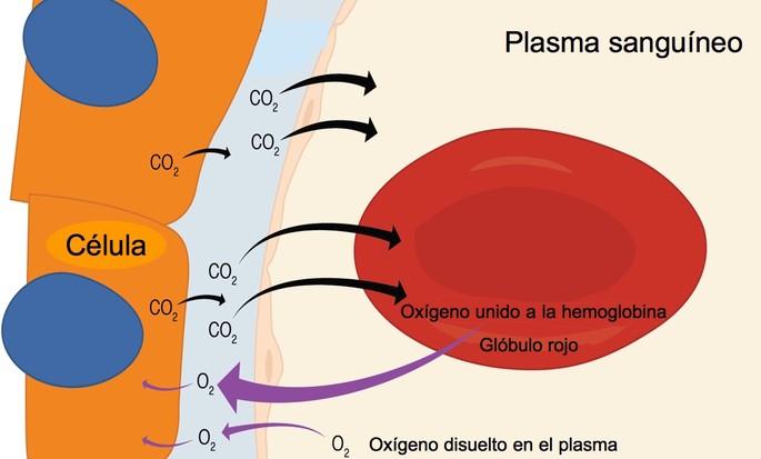 respiracion interna con los globulos rojos
