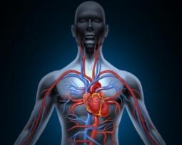 Venas y arterias