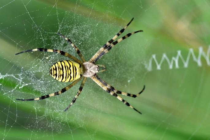 araña tigre animales invertebrados